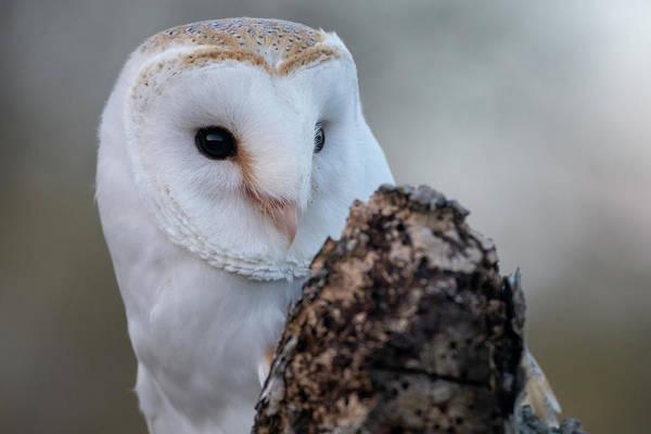 Photograph - A Coy Barn Owl by Mark Hunter