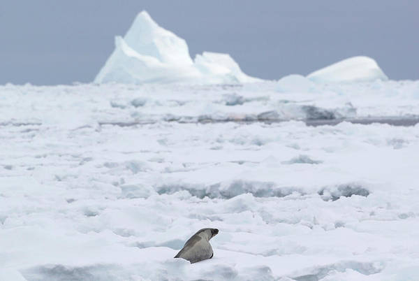 Ice Floe Photograph - A Crabeater Seal In The Ice Floe In The by Cultura Rf/brett Phibbs