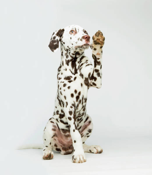 Democracy Photograph - A Dalmatian Dog Raising Its Paw by Patricia Doyle