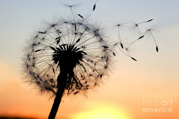 Wall Art - Photograph - A Dandelion Blowing Seeds In The Wind by Janbussan