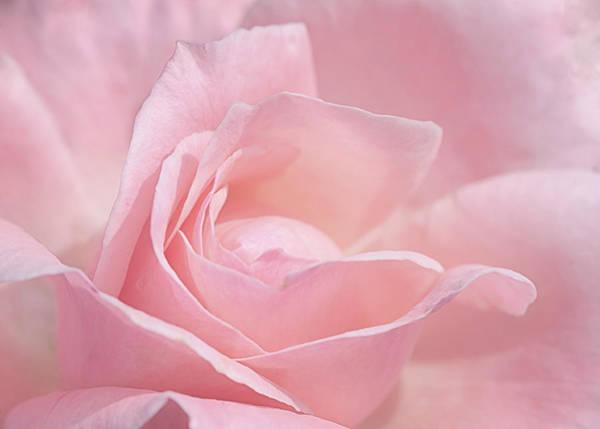 A Delicate Pink Rose Art Print