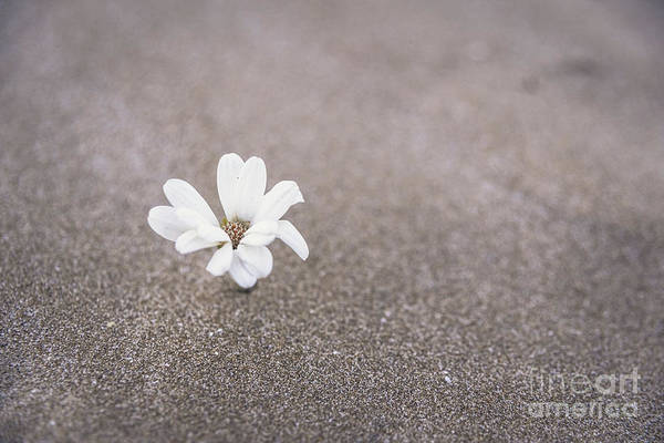 Photograph - A Delicate White Plant Grows Among The Sand Of The Desert Dunes  by Joaquin Corbalan