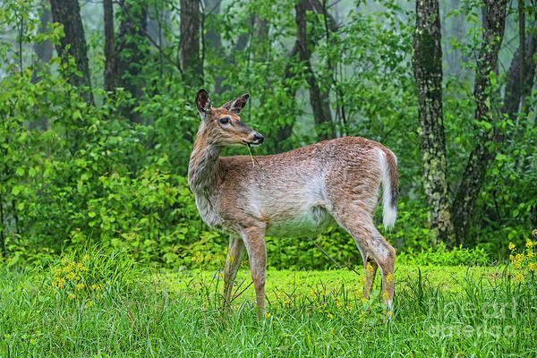 Wall Art - Photograph - A Doe Having Early Breakfast 7770t by Doug Berry