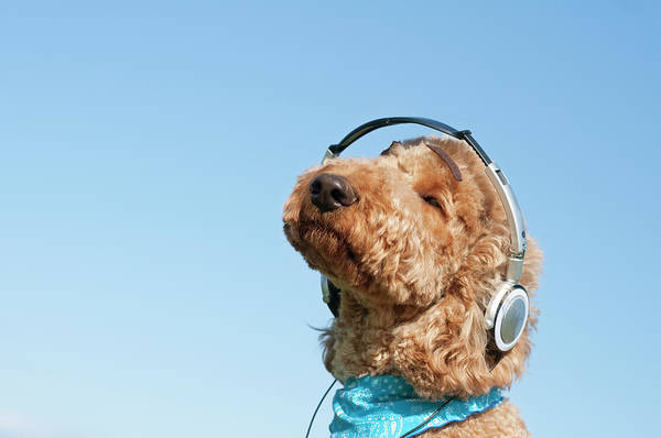 Poodle Photograph - A Dog Listening To Music With Headphone by Artparadigm
