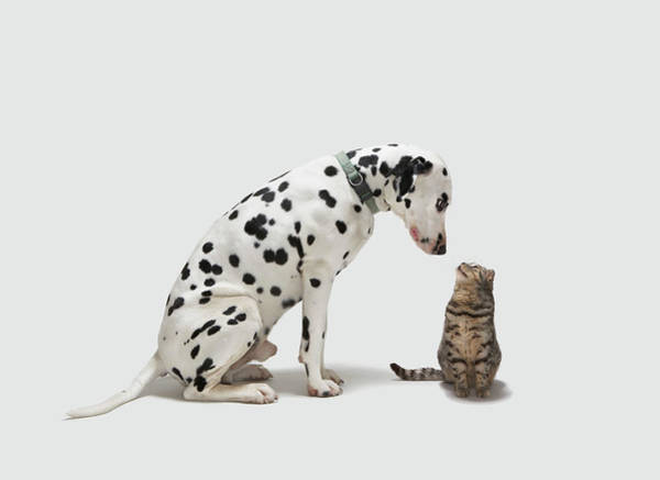 Dalmatian Dog Photograph - A Dog Looking At A Cat by Tim Macpherson