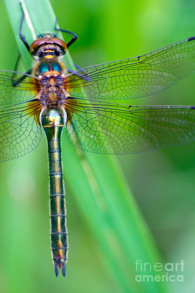 Wall Art - Photograph - A Dragonfly Cordulia Aenea Warming Its by Corlaffra