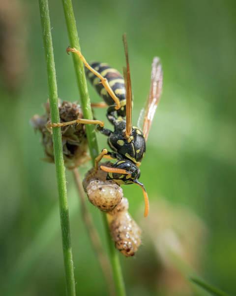 European Hornet Photograph - A European Paper Wasp Eating Prey Sitting On Grass by Stefan Rotter