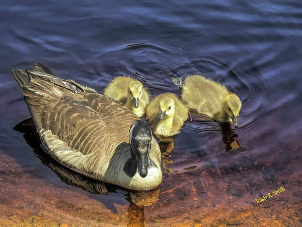 Digital Art - A Family Of Canada Geese Feeding On The Water,three Goselings An by Rusty R Smith
