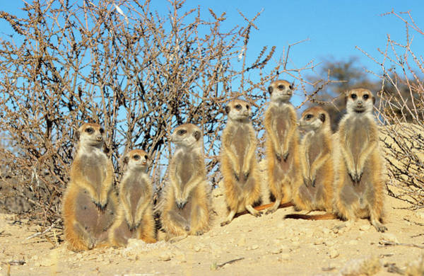 Wall Art - Photograph - A Family Of Suricates Sunning by Nigel Dennis