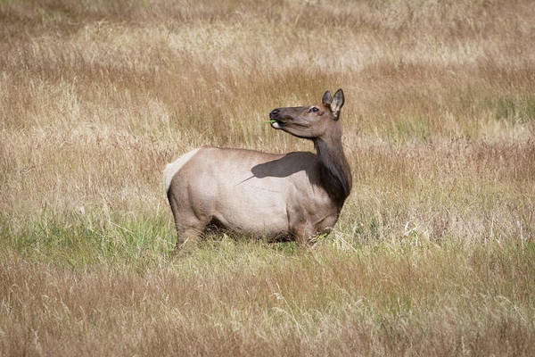 Wall Art - Photograph - A Female Elk by Catherine Lau