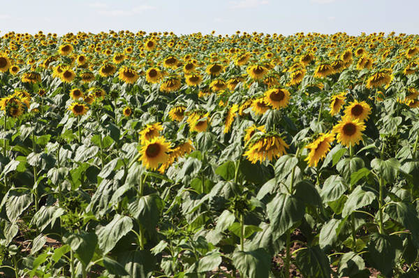 Cultivate Photograph - A Field Of Cultivated Sunflowers by Sean Russell