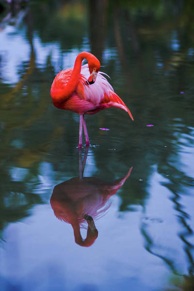 Standing Photograph - A Flamingo by Photography By Spl