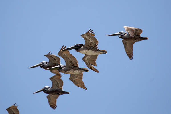 Wall Art - Photograph - A Flock Of Pelicans 12 by David Stasiak