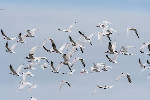 Photograph - A Flying Flock Of Caspian Terns by Robert Potts