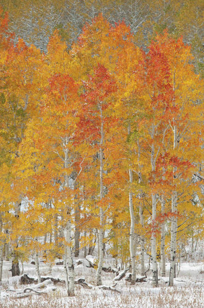 Uinta Photograph - A Forest Of Quaking Aspen Trees With by Mint Images - David Schultz