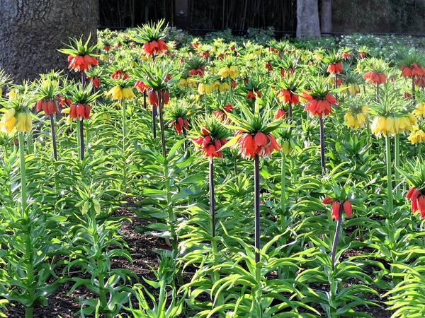 Pineapple Lily Photograph - A Garden Full Of Fritillaria by Carol McGrath