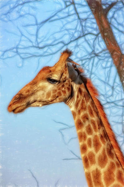 Photograph - A Giraffe And His Bird by Kay Brewer