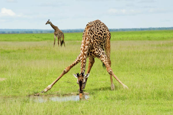 Savannah Photograph - A Giraffe Is Drinking Water And One Is by Guenterguni