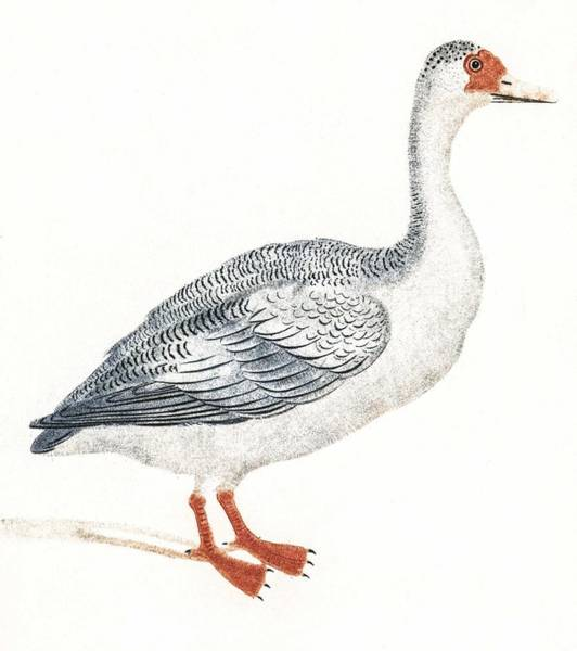 Wall Art - Painting - A Goose By Johan Teyler  1648-1709  by Celestial Images