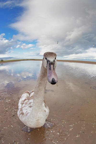 Staring Photograph - A Goose Standing On The Beach Staring by John Short / Design Pics