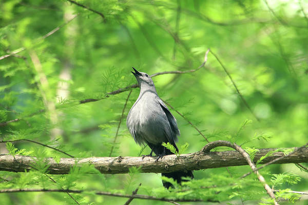 Photograph - A Gray Catbird Singing by Trina Ansel