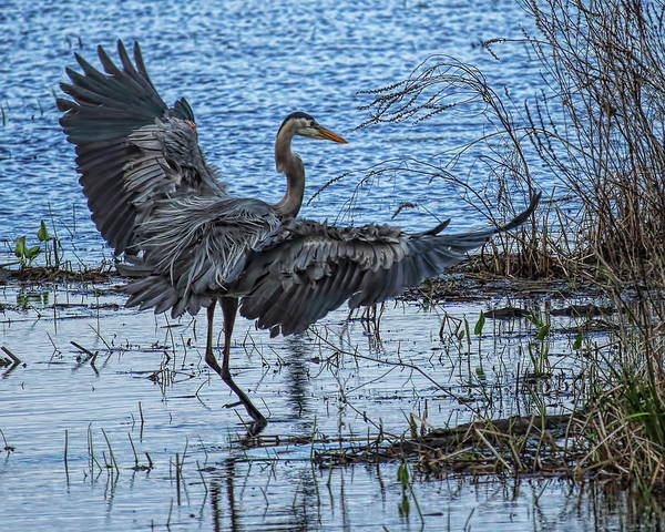 Photograph - A Great Blue Heron Touch Down by Dale Kauzlaric