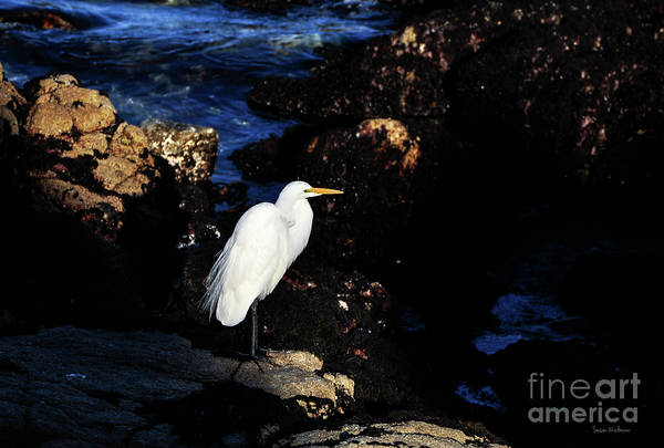 Photograph - A Great Egret Capturing Sunlight by Susan Wiedmann