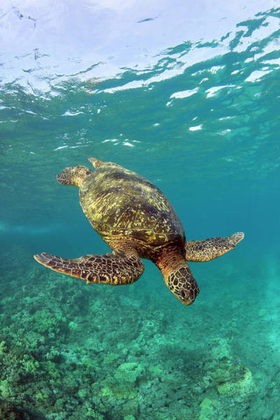 Undersea Photograph - A Green Sea Turtle Diving In Clear Water by David Olsen