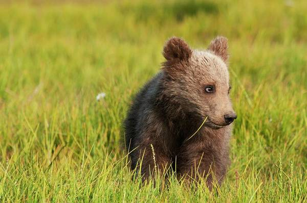 Born In The Usa Photograph - A Grizzly Bear Cub Ursus Arctos by Design Pics / Deb Garside