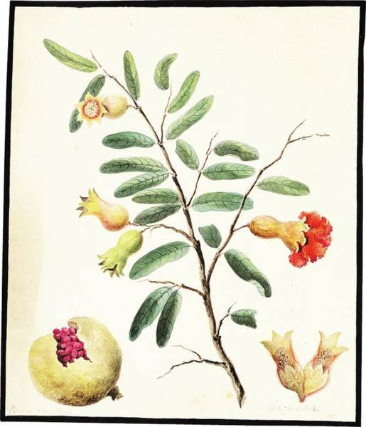 Wall Art - Painting - A Group Of 11 Fauna And Flora Studies  Four Birds And Nine Flowers, India, Murshidabad, Company Scho by Celestial Images