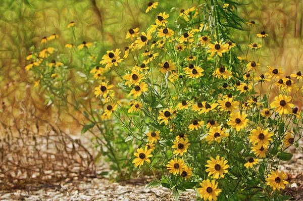 Wall Art - Photograph - A Group Of Bossoming Black-eyed Susan by Maria Mosolova