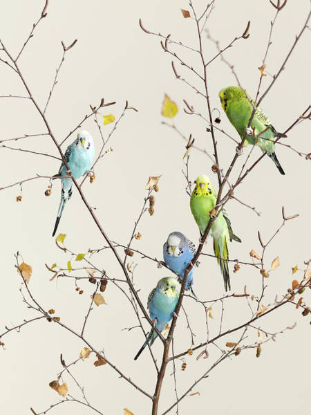 Connection Photograph - A Group Of Budgies In A Tree by Walker And Walker