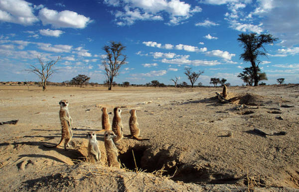 Wall Art - Photograph - A Group Of Suricates Sunning Themselves by Nigel Dennis