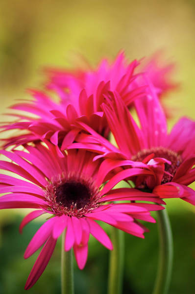 Rockville Photograph - A Group Of Vivid Magenta Pink Gerbera by Maria Mosolova