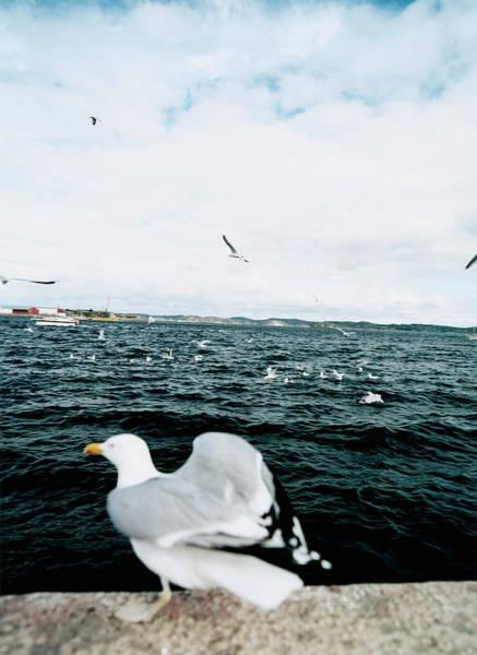 Scandinavian Photograph - A Gull About To Fly Off by Oscar Mattsson