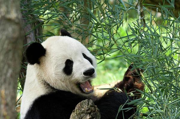 Wall Art - Photograph - A Happy Panda Climbing In A Tree by Jpecha
