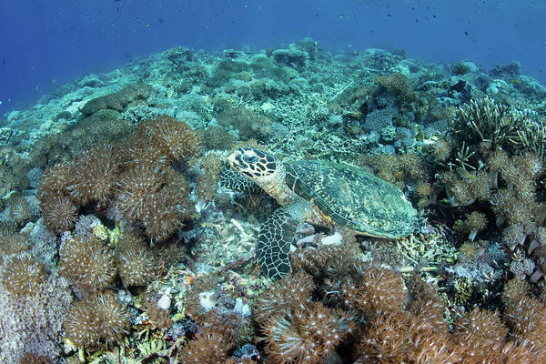Wall Art - Photograph - A Hawksbill Sea Turtle Lays On A Reef by Stocktrek