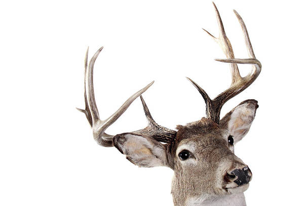 White Tailed Deer Photograph - A Headshot Of The Whitetail Buck On A by Rmfox