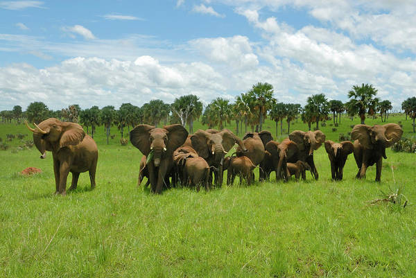 Mike D Photograph - A Herd Of African Elephant Loxodonta by Mike D. Kock