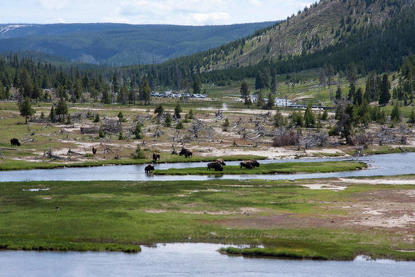 Firehole River Wall Art - Photograph - A Herd Of American Bison Bison Bison by Mike Copeland