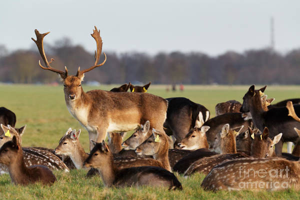 Color Field Wall Art - Photograph - A Herd Of Deer In The Phoenix Park In by Bartkowski