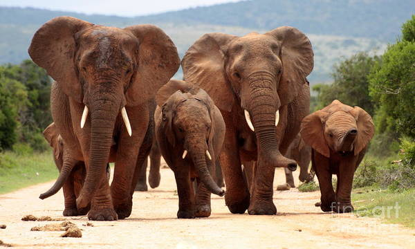 Charge Photograph - A Herd Of Elephant Walk Towards The by Jonathan Pledger