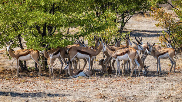 Photograph - A Herd Of Springboks, Namibia by Lyl Dil Creations
