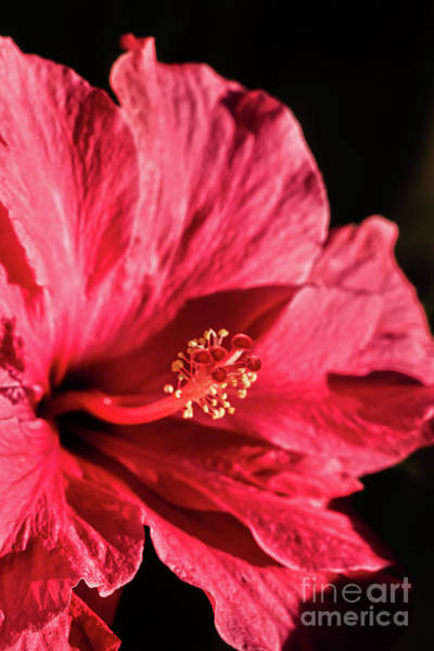 Wall Art - Photograph - A Hibiscus Macro by Robert Bales