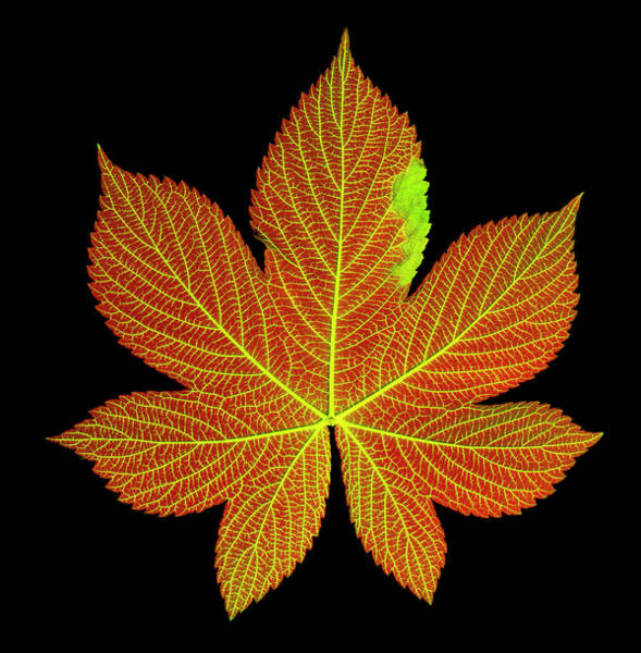 Wall Art - Photograph - A Hops Leaf Dyed To Show Veins by Ted M. Kinsman