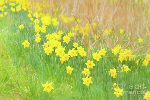 Photograph - A Host Of Daffodils by Marilyn Cornwell