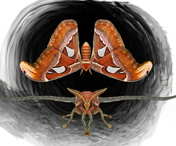 Drawing - A Is For Atlas Moth by Joan Stratton