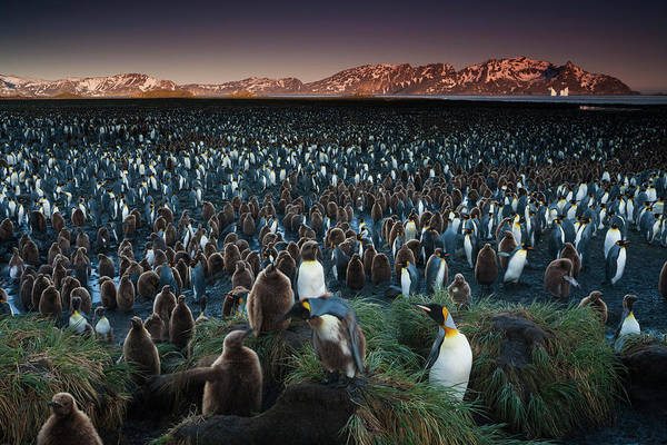 Vertebrate Photograph - A King Penguin Colony, A Huge Group Of by Mint Images - Art Wolfe
