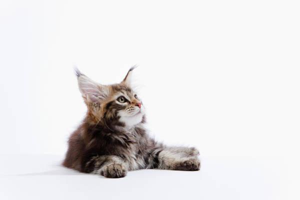 A Kitten Of Maine Coon Cat Art Print