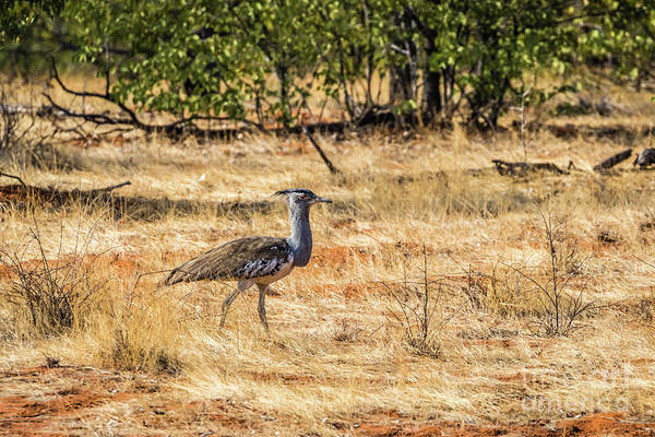 Photograph - A Kori Bustard, Namibia by Lyl Dil Creations